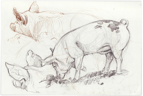 Pig-sketches1