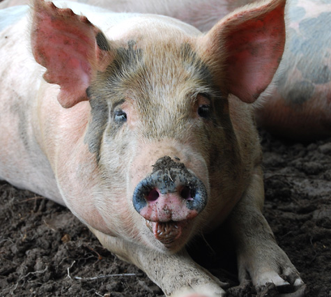 Shelburn-pigs09b