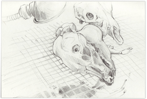 Pig-skull1