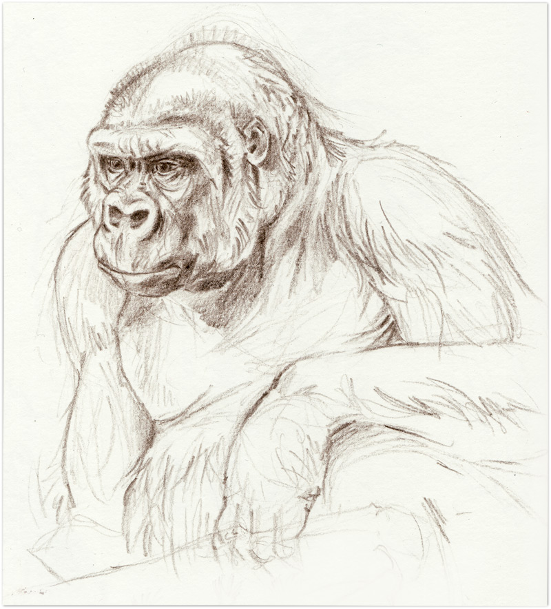 Zoo-gorilla-gigiSM