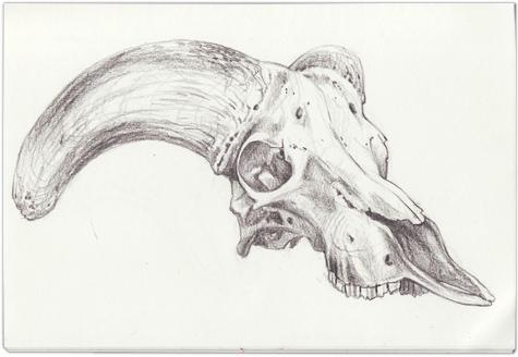 Antelope Skull Drawing Skulls-bighorn