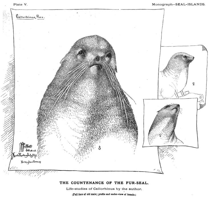Fur-seal-portrait