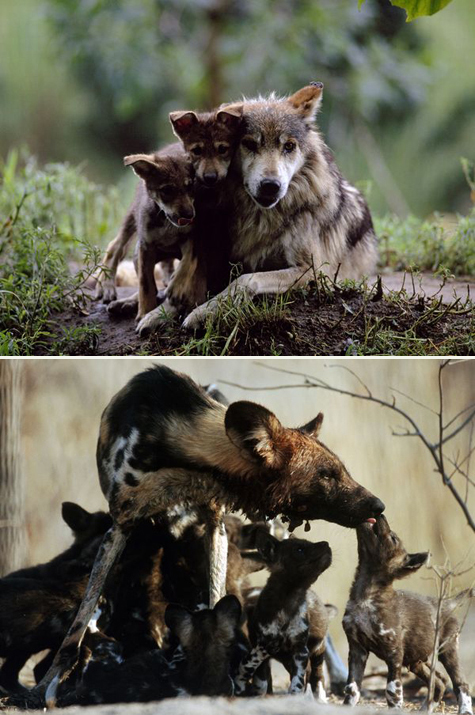 Mother-wolf-dog