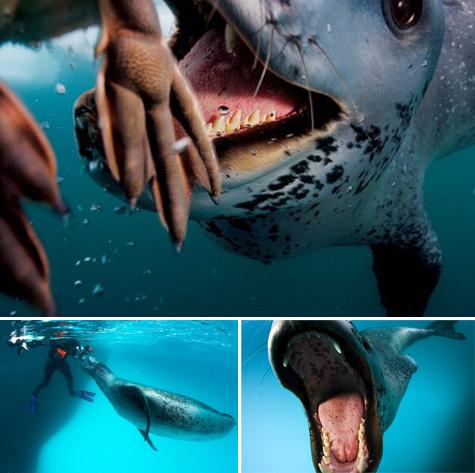 Paul_nicklen_leopard_seal