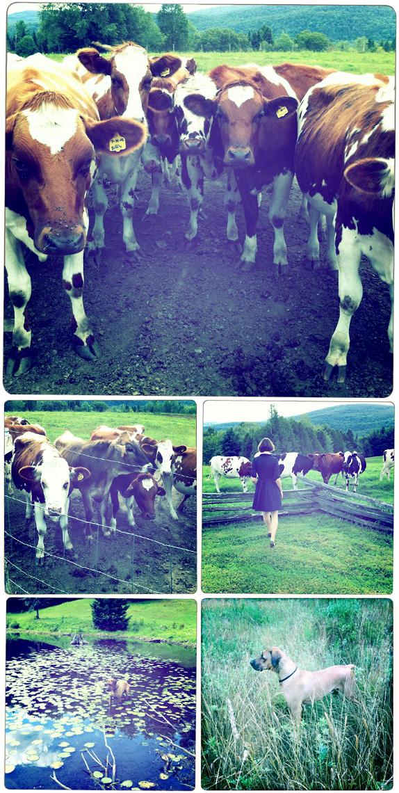 Vermont summer, cows, Rhodesian Ridgeback, Hipstamatic