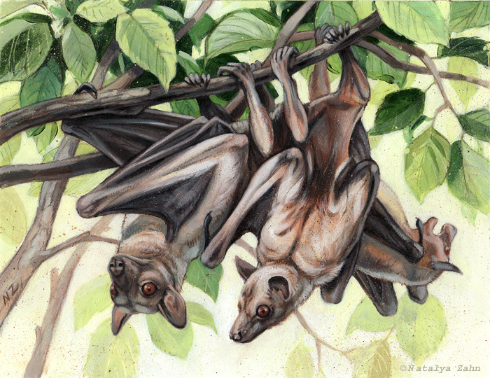 Straw-colored fruit bats, Eidolon helvum