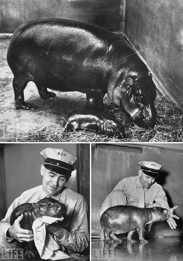 Gumdrop, Billy the pygmy hippo