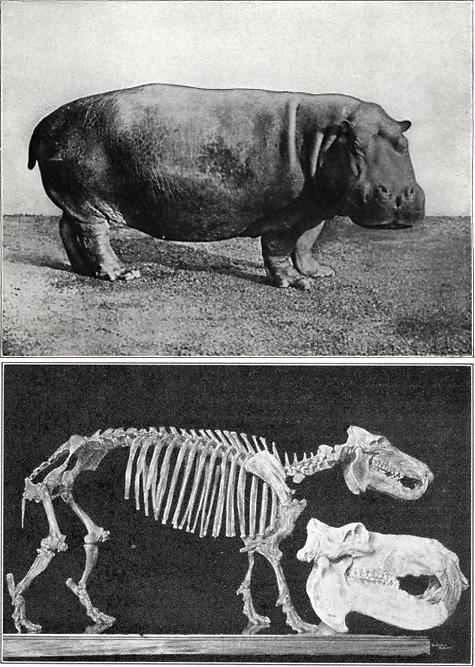 Hippopotamus, pygmy hippo, skeleton