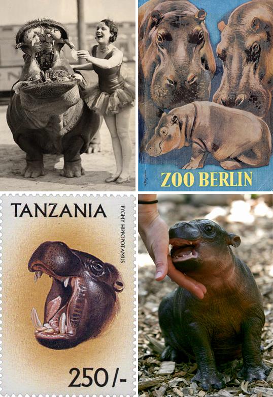 Hippopotamus, hippo, pygmy hippo, zoo hippo