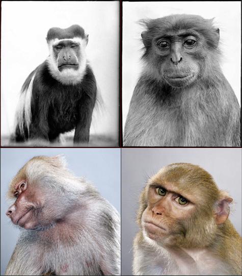 Monkey-COMP-C