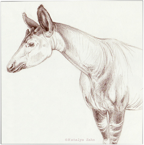 Okapi-sketch