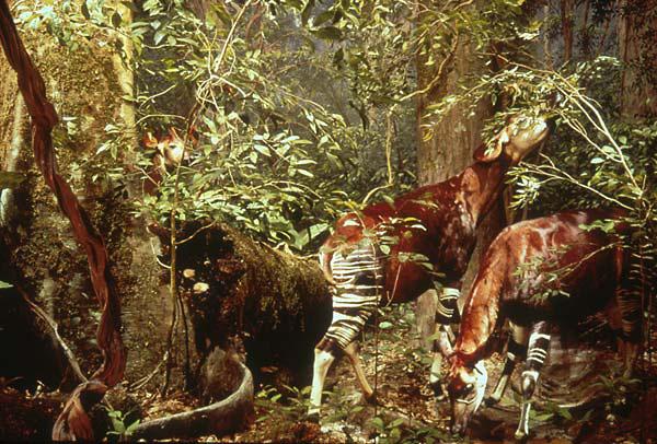 Okapi-AMNH