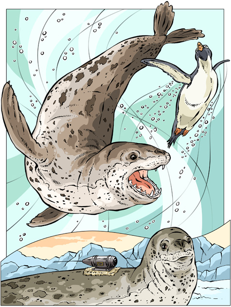 NZ-leopardseal
