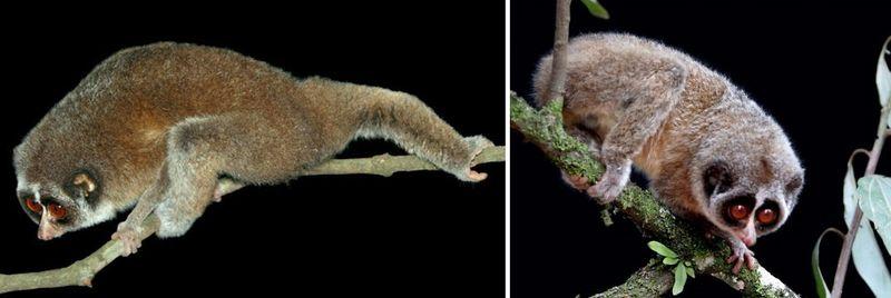 Horton Plains Slender Loris, first photos, extinct, rediscovered, primate
