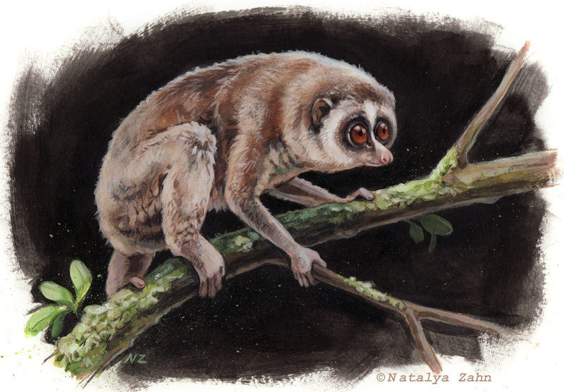 Horton Plains Slender Loris, extinct, rediscovered, primate