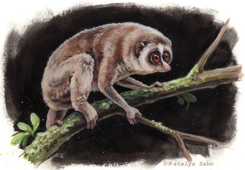 Horton Plains Slender Loris, extinct, rediscovered, primate