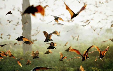straw-colored fruit bats, Kieran Dodds