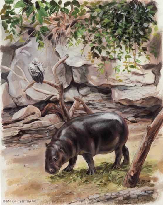 pygmy hippo, hippo, Franklin Park Zoo
