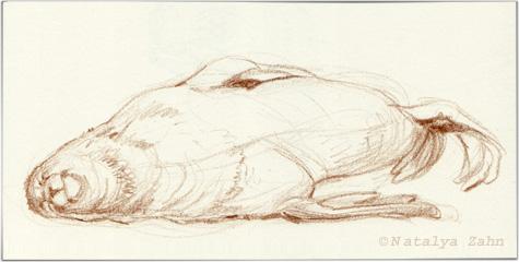 Fur seal at NEAQ