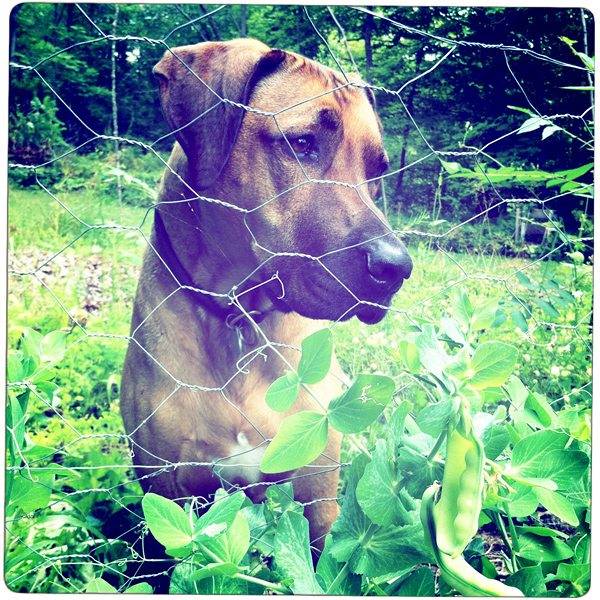 Oscar the Rhodesian Ridgeback dog