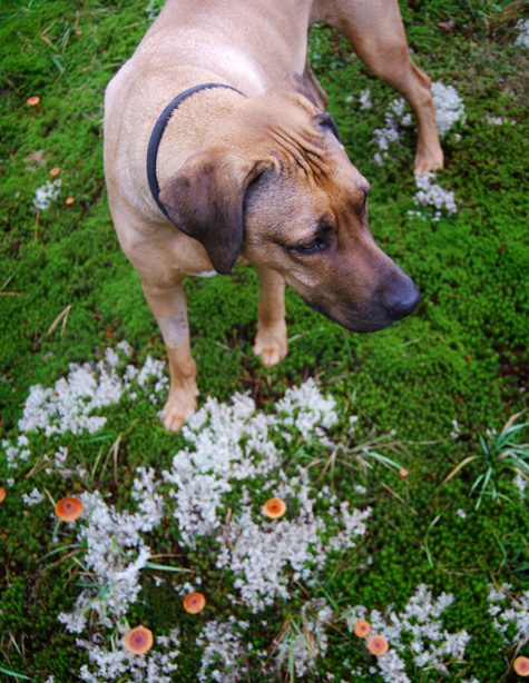 Oscar dog Rhodesian Ridgeback
