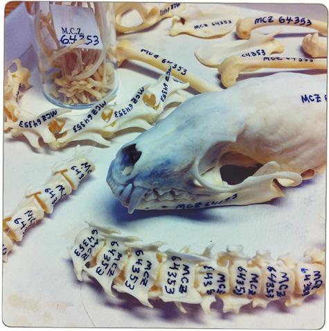 Marten-bones