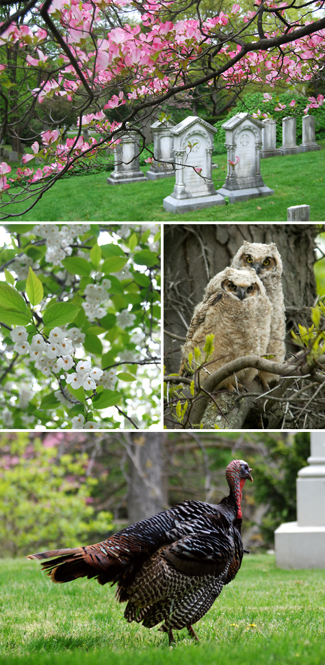 Mount Auburn Cemetery birds