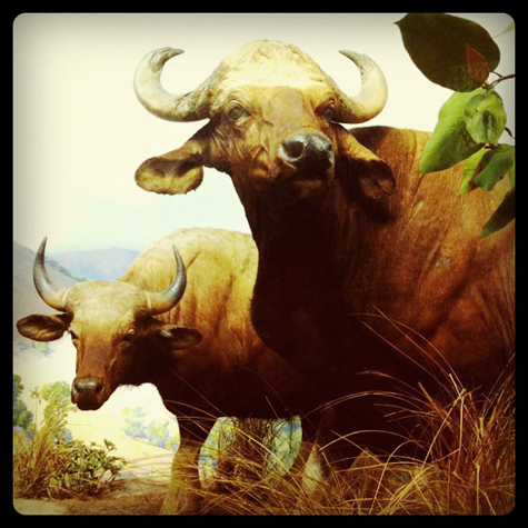 Gaur at the AMNH
