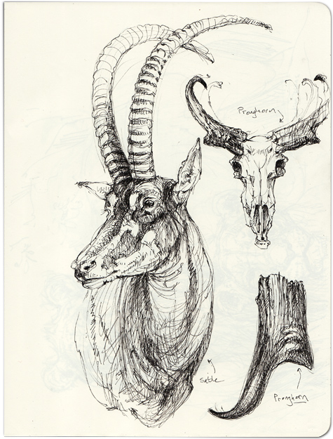 Antelope Face Drawing Sable Antelope