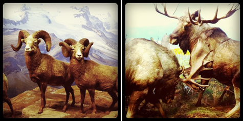 Bighorn Sheep, Alaskan Moose