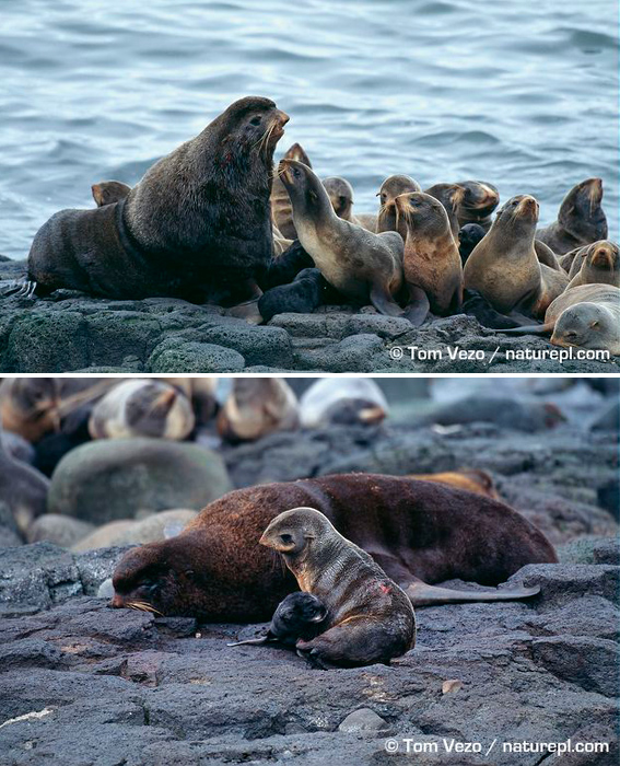 Northern fur seals
