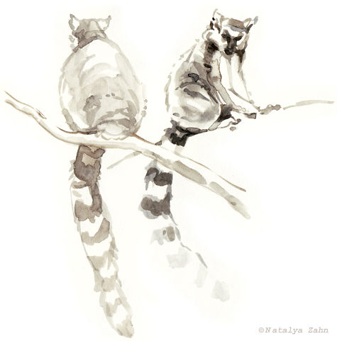 Ring-tailed lemurs, waterbrush