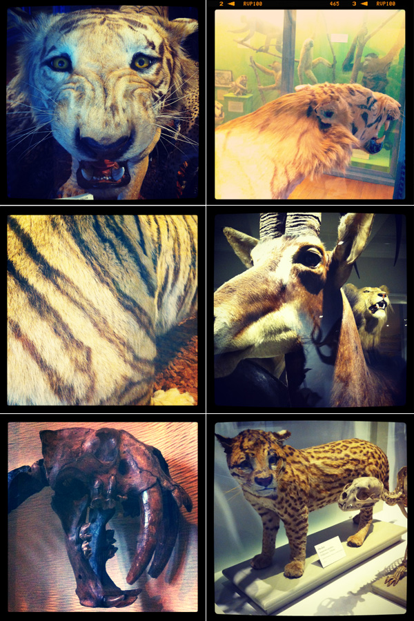 HMNH, Museum of Comparative Zoology, big cats, lion, tiger