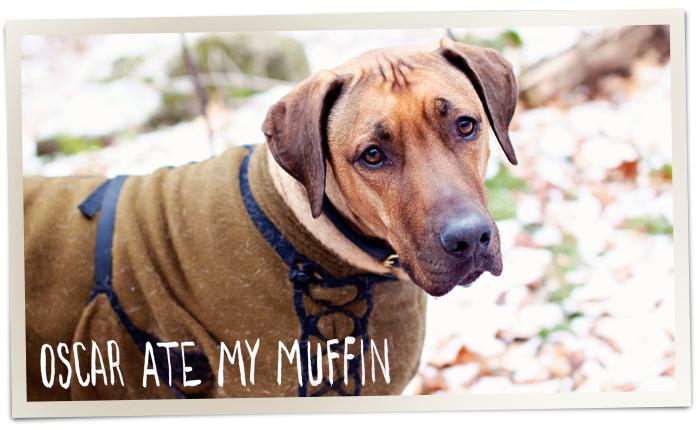 Oscar ate my muffin - Rhodesian Ridgeback dog bloig
