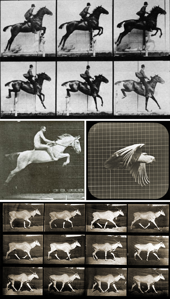 Edweard Muybridge, animals in motion