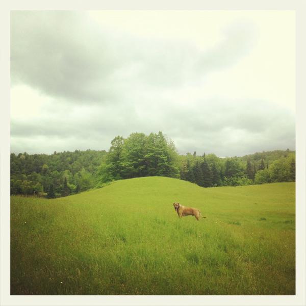 Rhodesian Ridgeback Oscar, Vermont