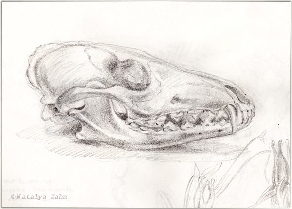 Mouse Skull Drawing Drawing at The Morbid Anatomy