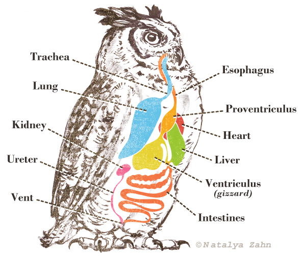 Great Horned Owl digestion, owl pellet, owl chart, proventriculus