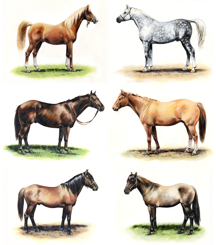 Arabian Horse, Quarter Horse, Spanish Mustang Horse