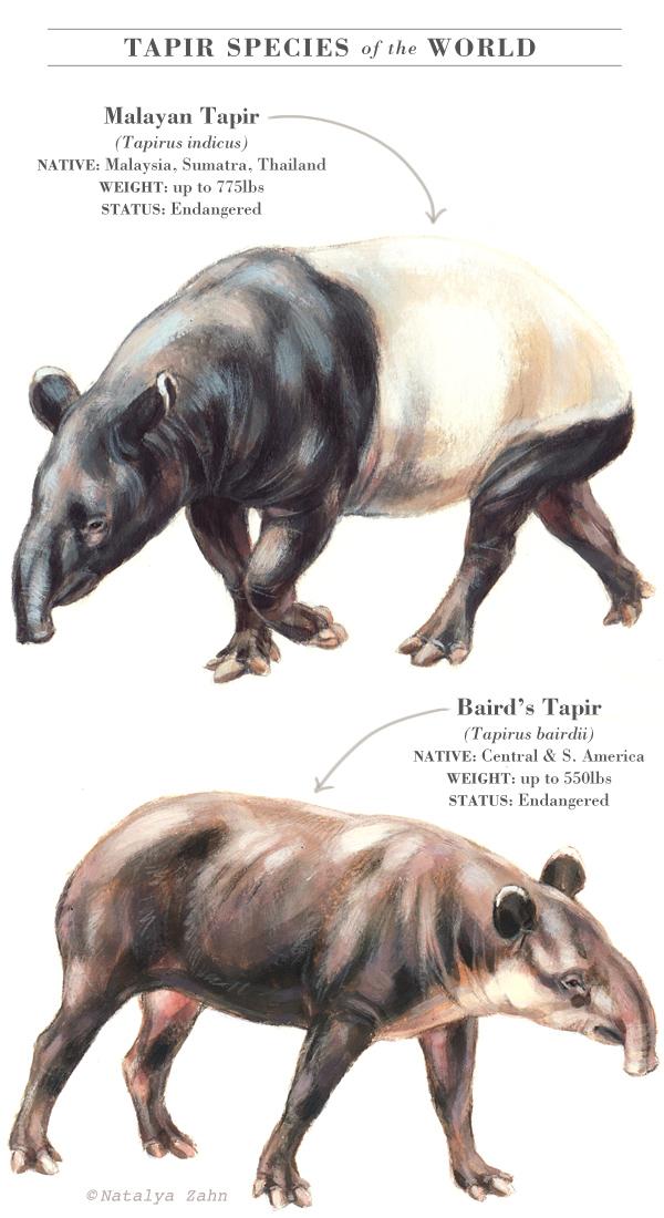 Asian tapir, Malayan tapir, Baird's tapir
