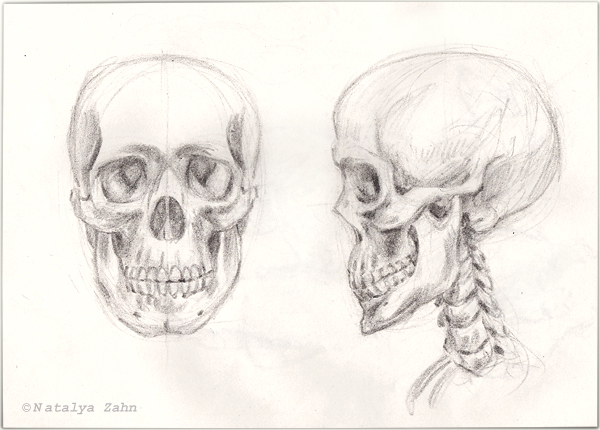 scientific illustration, human skull drawing