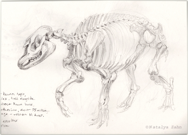 scientific illustration, early tapir skeleton Homogalax
