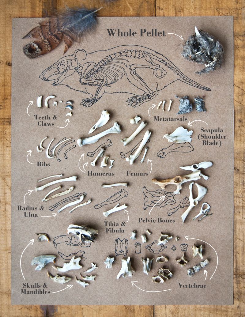 owl pellet, owl, rodent bone identification, mouse bones