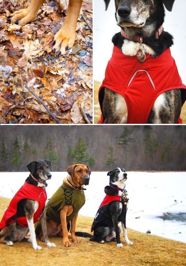 Rhodesian Ridgeback, Vermont, dogs