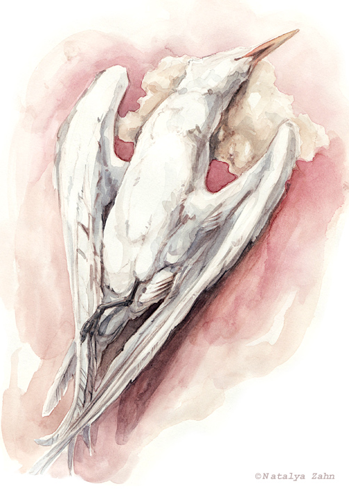 Tern, sketchbook bird, specimen