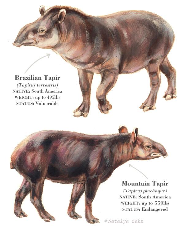 Brazilian tapir, mountain tapir