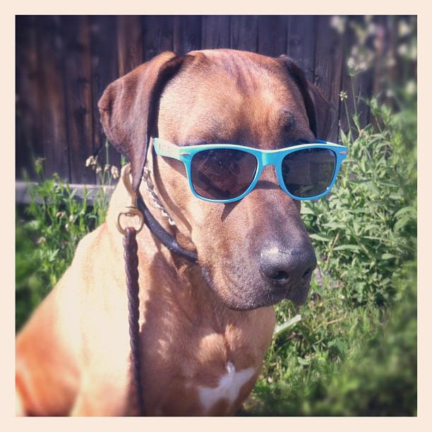Rhodesian Ridgeback, Oscar dog, sunglasses