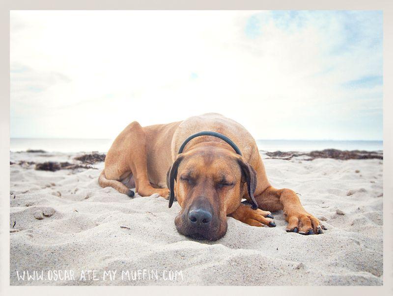 Rhodesian Ridgeback Oscar, Cape Cod beach nap