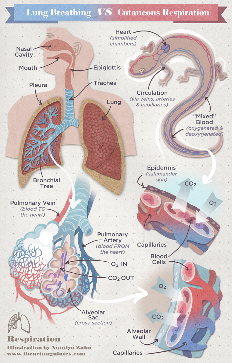 Chart of Respiration: Human vs Lungless Salamander (alveoli, bronchioles, lungs)