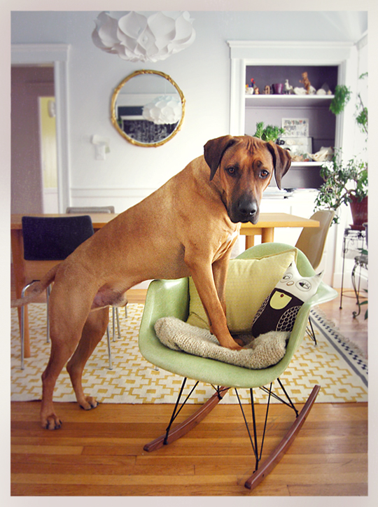 Rhodesian Ridgeback Oscar Pets on Furniture